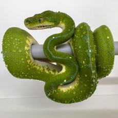 Reptilis