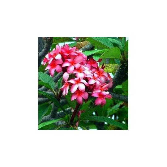 Plumeria rubra rose